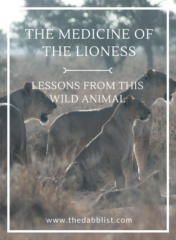 The animal medicine of the lioness is potent. It's about feminine power and strength. Click through to learn more about what the lioness taught me.